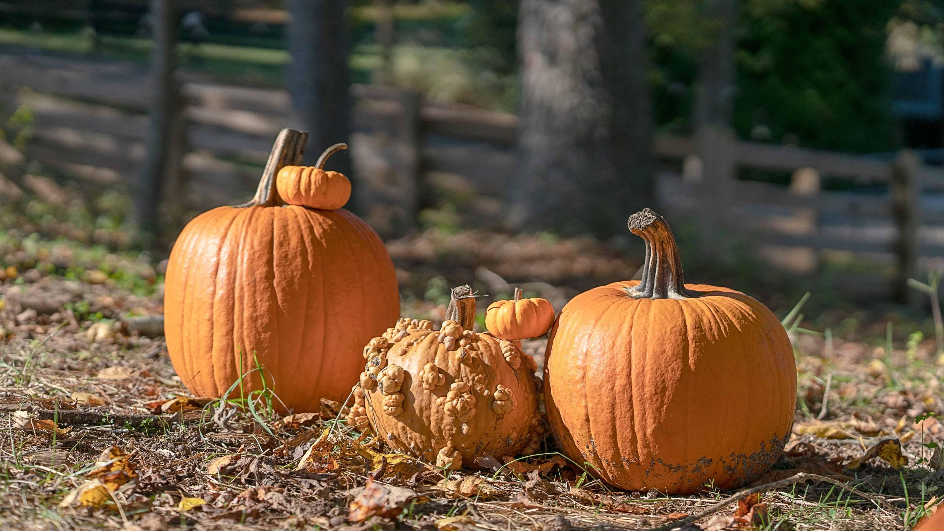 Pumpkins sitting in a yard