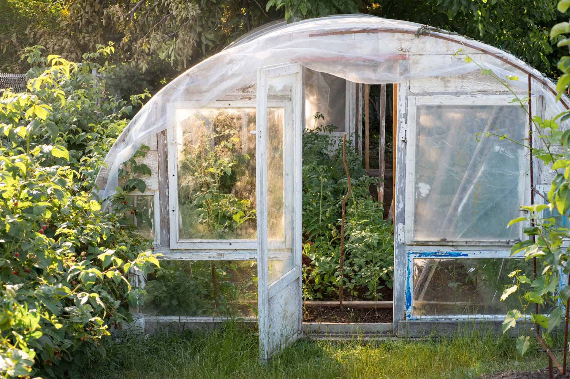 Tomato plants growing inside a freestanding tunnel greenhouse