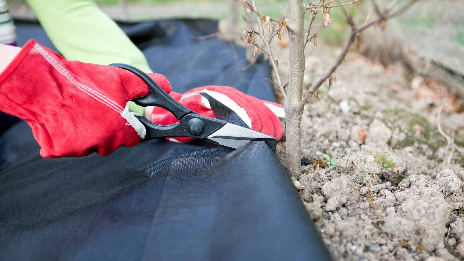 Cutting landscape fabric around tree for weed control