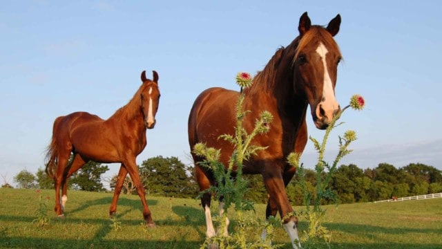 Keep your horse pasture free of toxic weeds
