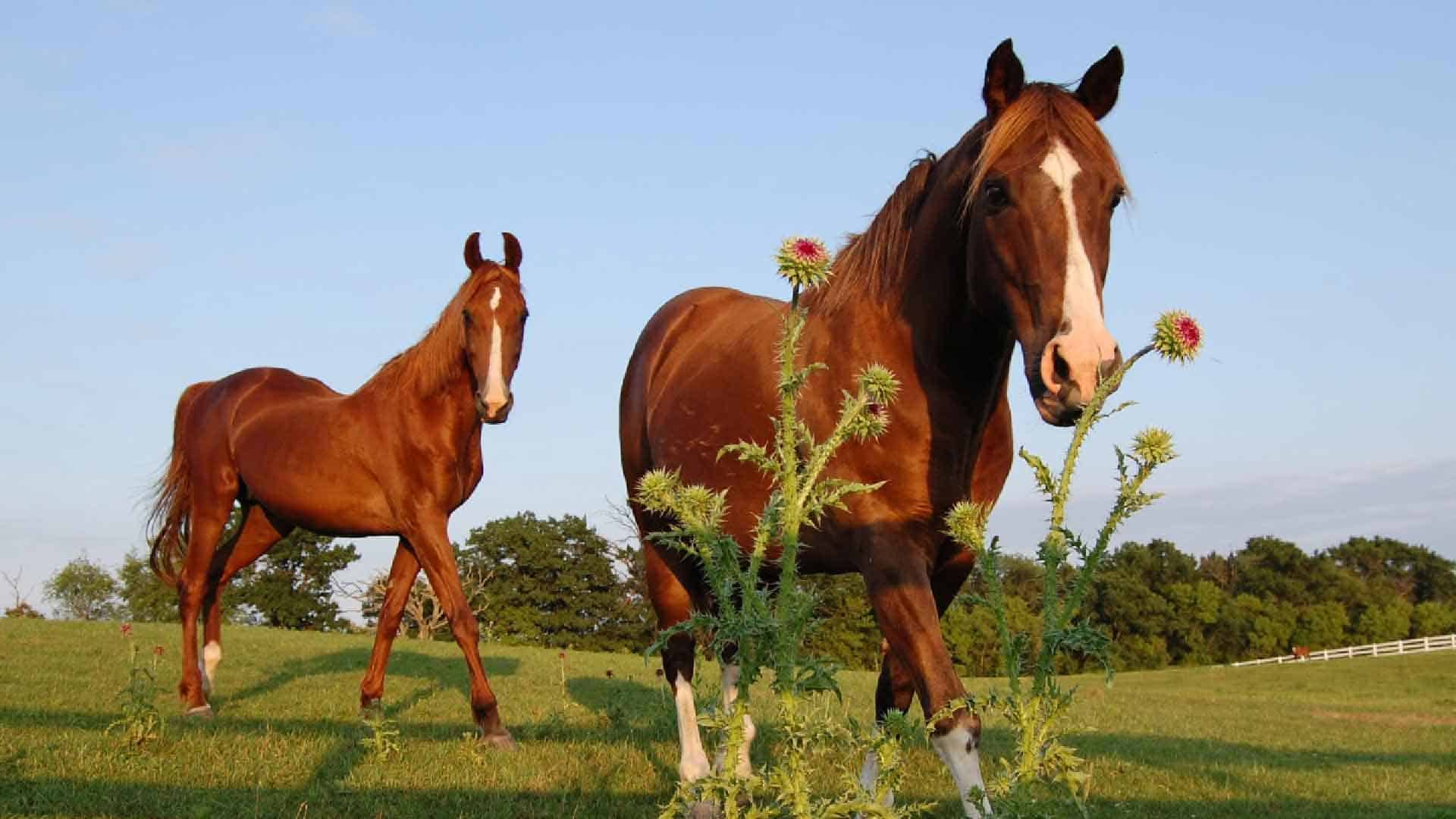 Horses walking in a horse pasture passing a weed.